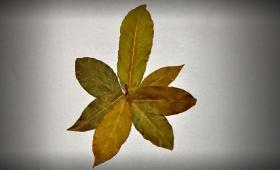 Дафинов лист – полезни свойства