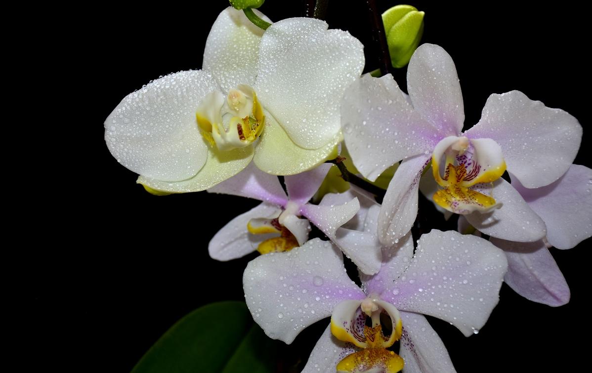бяла орхидея на тъмен фон