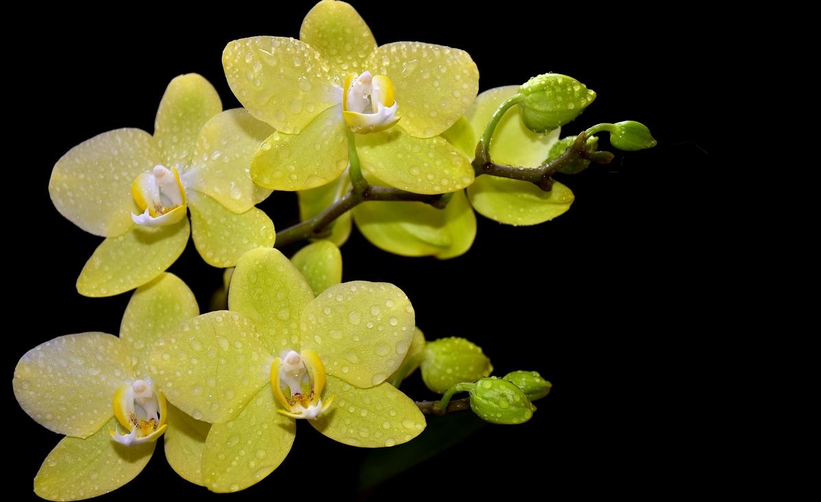 жълта орхидея