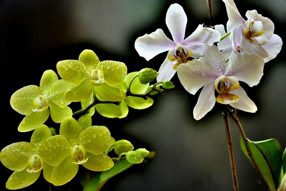 жълта и бяла орхидея, HDR