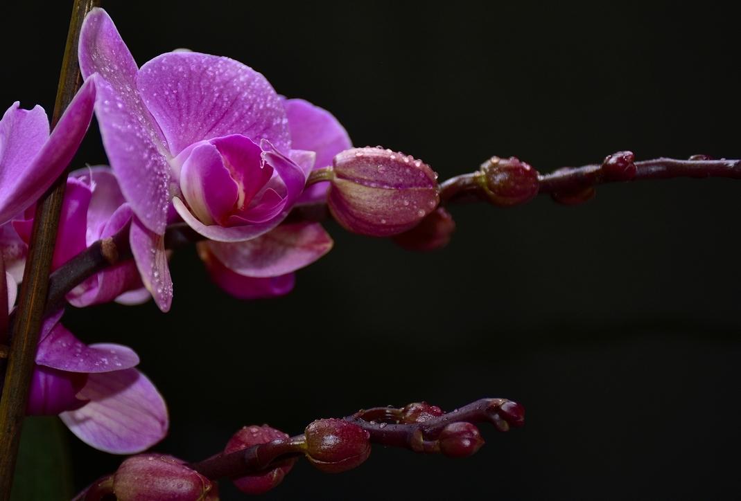 лилава орхидея на черен фон