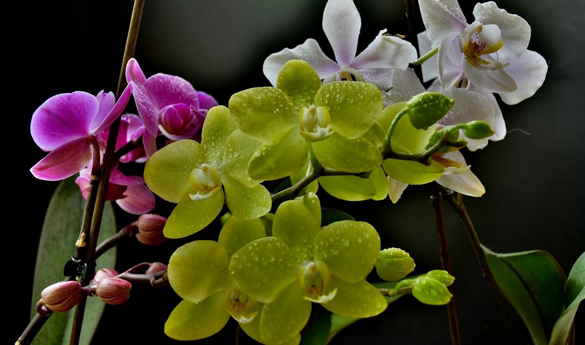бяла, лилава и жълта орхидея