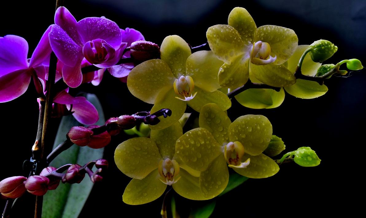 лилава и жълна орхидея