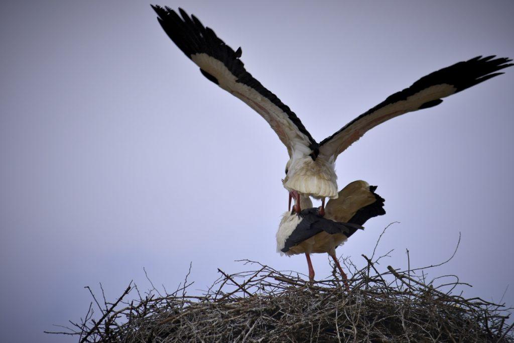 storks щъркели