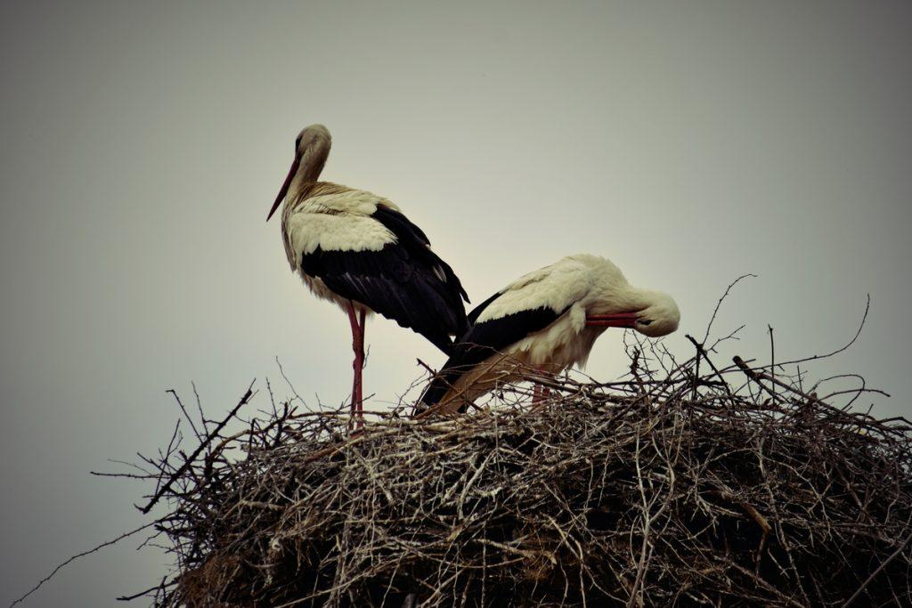 щъркели  storks