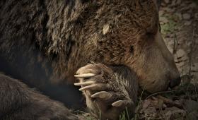 Гладна мечка хоро не играе