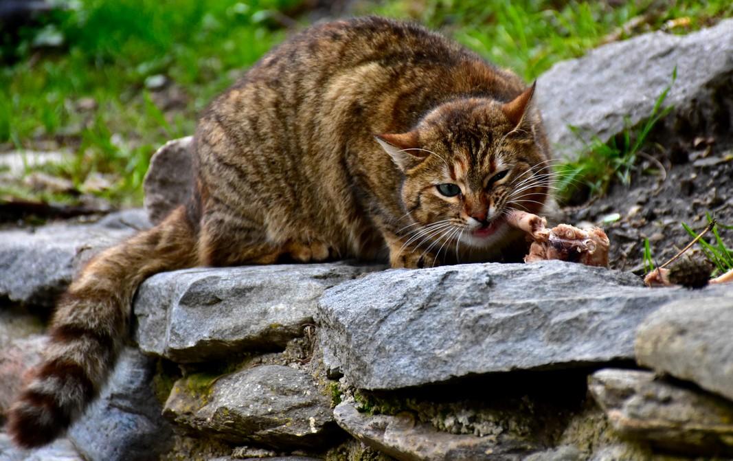 Коте хапва