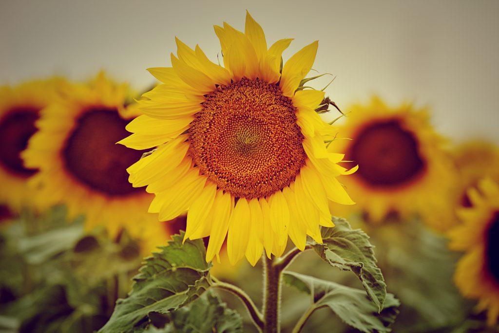 обикновен слънчоглед
