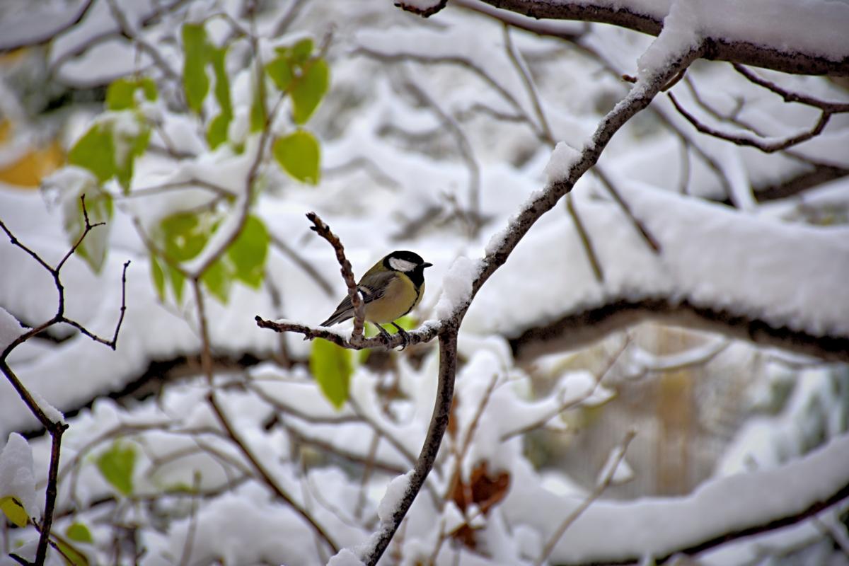 синигерче през зимата