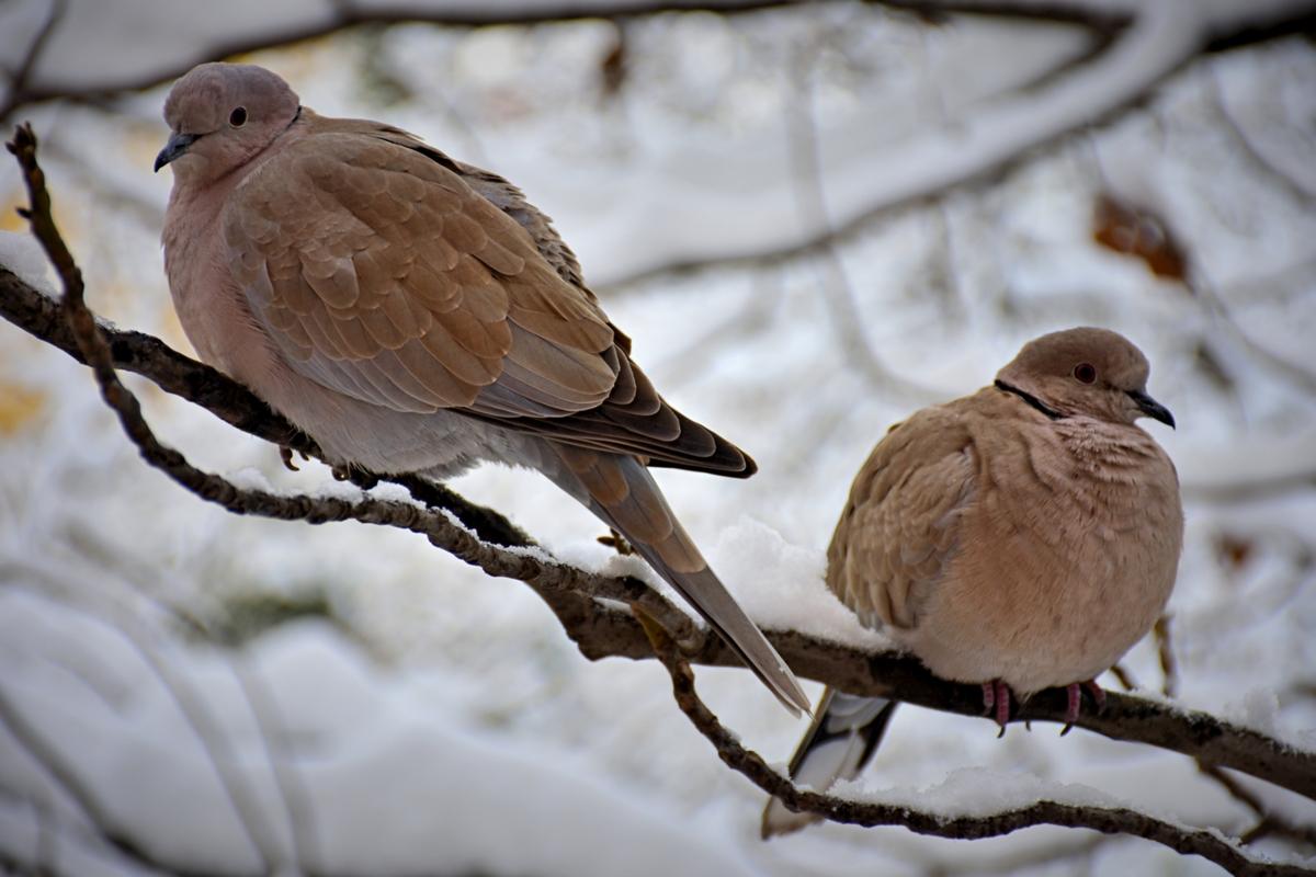 гугутки през зимата