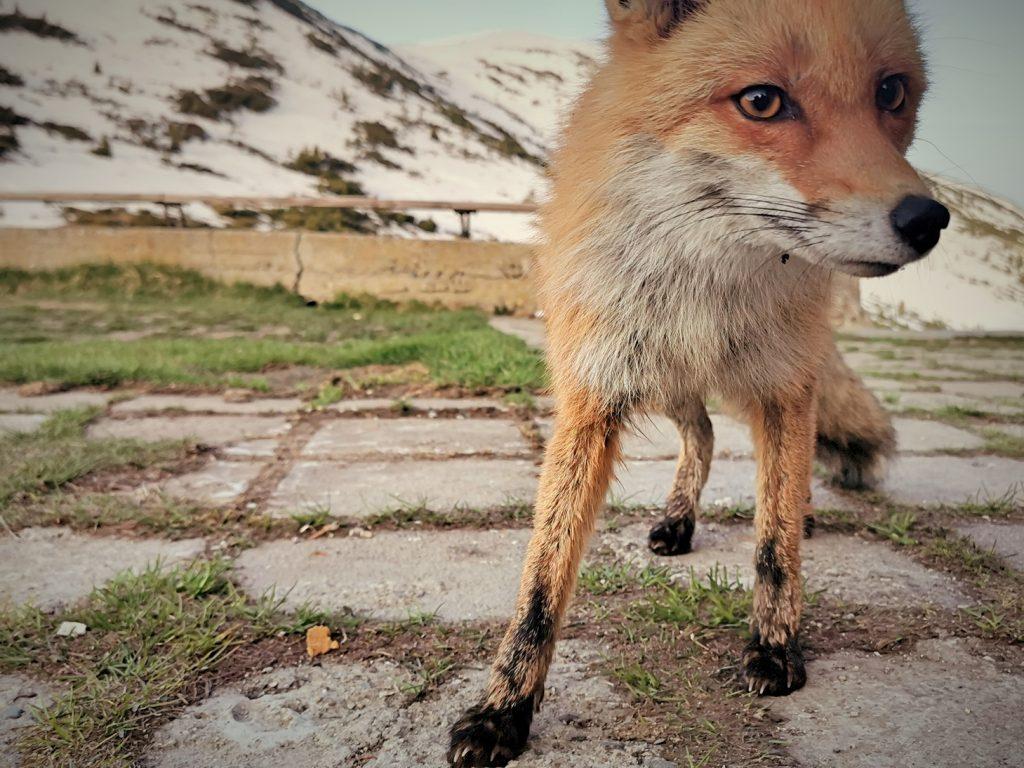 Любопитна лисица