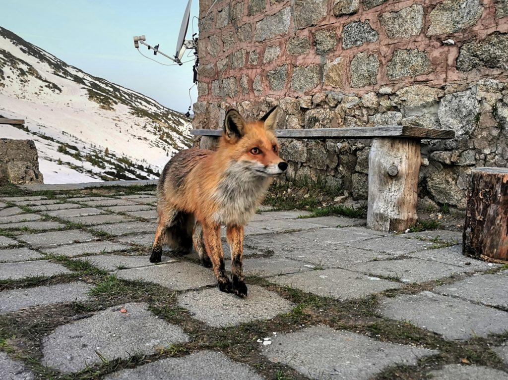 х. Македония и лисицата